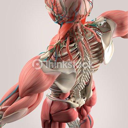 Menschliche Anatomie Rücken Rumpf Knochen Muskeln Hohen Winkel Stock ...