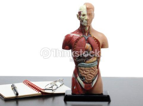 Menschliche Anatomiemodell Und Gläser Auf Dem Tisch Stock-Foto ...