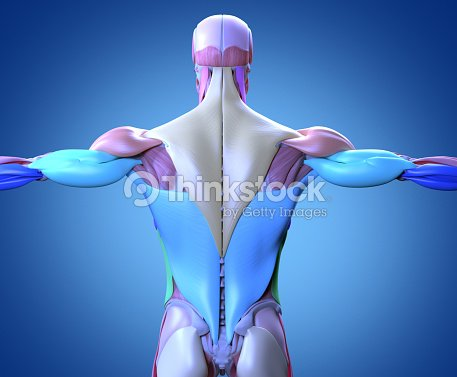Human Anatomy Muscle Groups Torso Back 3d Illustration Stock Photo