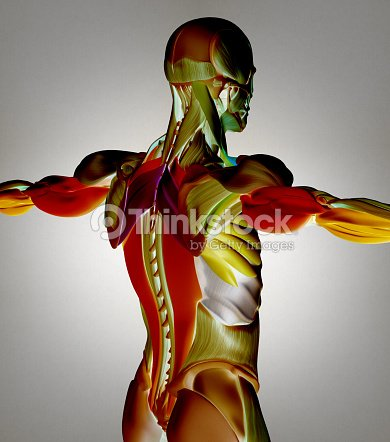 Human Anatomy Muscle Groups Torso Back Color Coded 3d Illustration