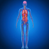 The human body is the entire structure of a human being and comprises a head, neck, trunk (which includes the thorax and abdomen), arms and hands, legs and feet. Every part of the body is composed of