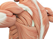 Human anatomy shoulder and back. 3d illustration.