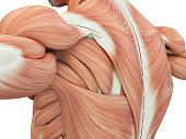 Human anatomy shoulder and back. 3d illustration.