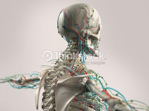 Anatomía Humana Demuestra La Cara Cabeza Y Hombros Y Trasera Foto de ...