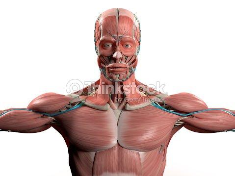 Anatomía Humana Demuestra Cara Cabeza Y Hombros Y El Torso Sistema ...