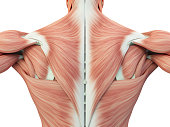 Human anatomy torso back muscles, pain. 3D Illustration.