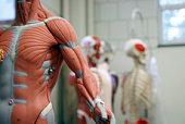 Bras humain et le torse d'un Modèle anatomique