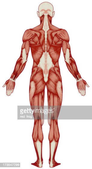 human body muscles stock photo | getty images, Muscles