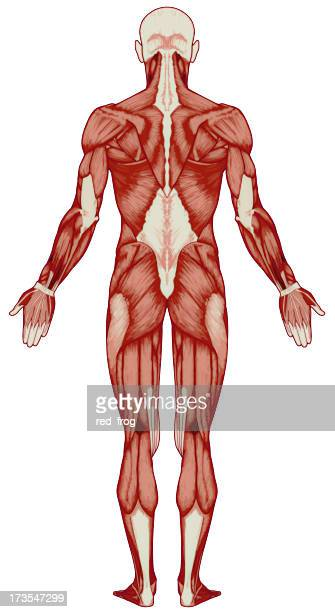 Human body, muscles (bitmap)