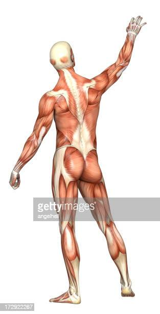 human body of a man with transparent muscles and skeleton stock, Muscles