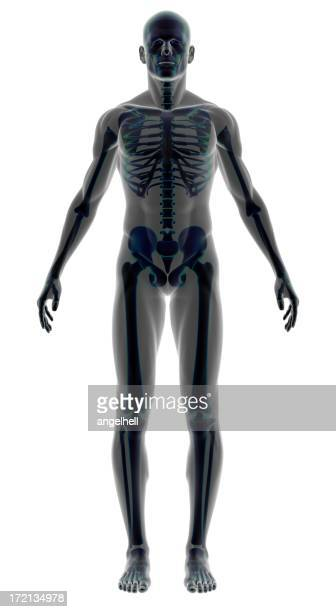 Human body of a man with skeleton for study