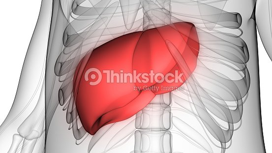 Human body organs anatomy stock photo thinkstock human body organs anatomy liver with nervous system stock photo ccuart Choice Image