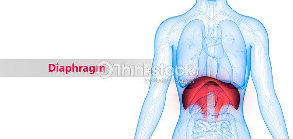 Menschlichen Körper Organe Anatomie Stock-Foto | Thinkstock