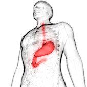 3D Illustration of Human Digestive system Anatomy (Stomach)