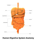 3D Illustration of Human Digestive system Anatomy