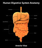 3D Illustration of Human Digestive System Detailed Labels Anatomy (Anterior View)