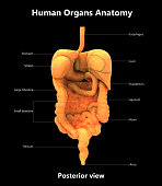 3D Illustration of Human Digestive System Detailed Labels Anatomy (Posterior View)