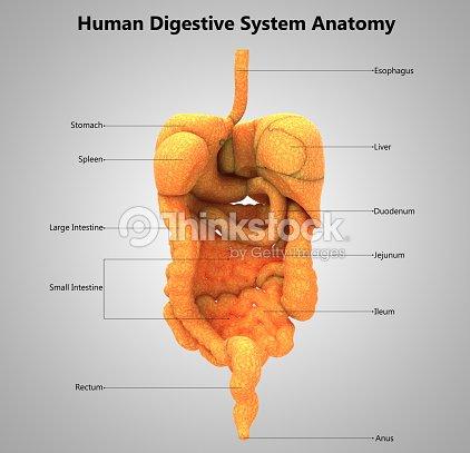 Anatomía De Diseño De Etiqueta De Sistema Digestivo Humano Foto de ...