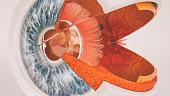 Human eye anatomy very detailed