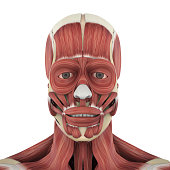 Human Facial Muscles Anatomy isolated on white background. 3D render