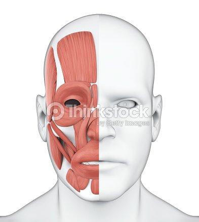 Anatomía De Los Músculos Faciales Humanas Foto de stock   Thinkstock