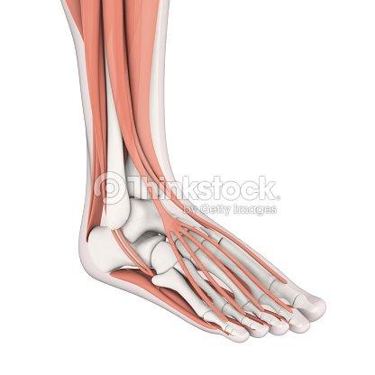 Menschliches Bein Muskeln Anatomie Stock-Foto | Thinkstock