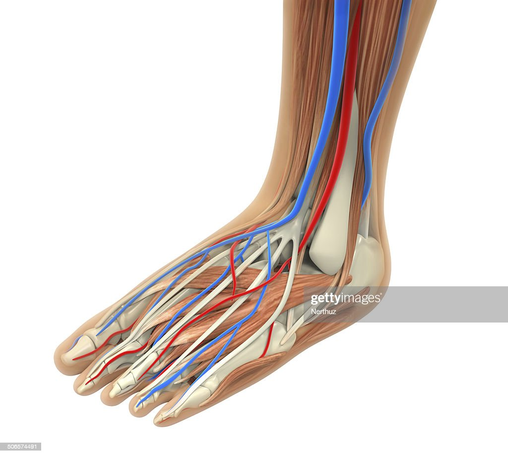 Human Foot Muscles Anatomy Stock Photo | Getty Images
