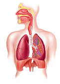 Cutaway diagram of a human respiratory sustem, also the nasal and mouth parts. 2 D digital illustration, on white background, with clipping path.
