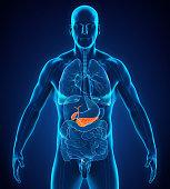 Human Gallbladder and Pancreas Anatomy Illustration. 3D render