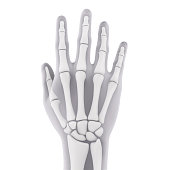 Human Hand Anatomy isolated on white background. 3D render