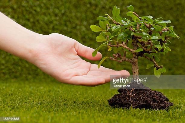 human hand and bonsai tree