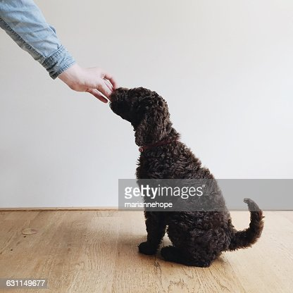 Human hand feeding treat to a labradoodle puppy dog