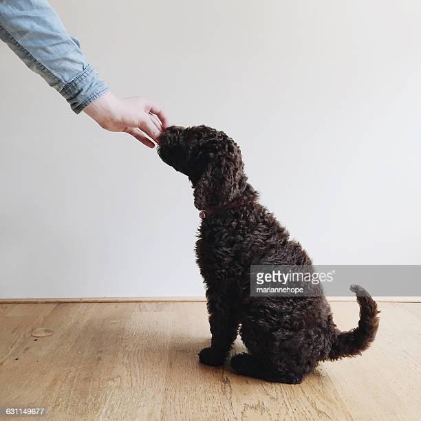 Human hand feeding treat to a labradoodle puppy dog