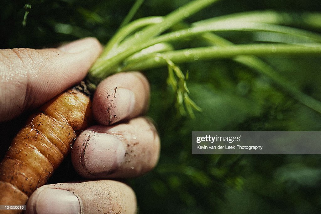 Human hand holding carrot : Stock Photo