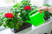 Human hand holding watering can and watering red Geranium flowers pots on windowsill. Indoor. Selective focus.
