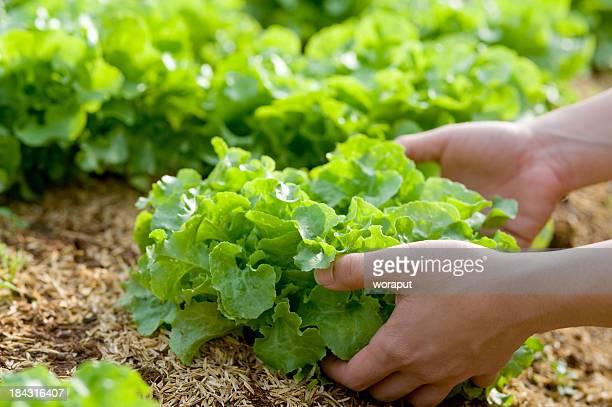 Human hands harvesting a butiful lettuce.