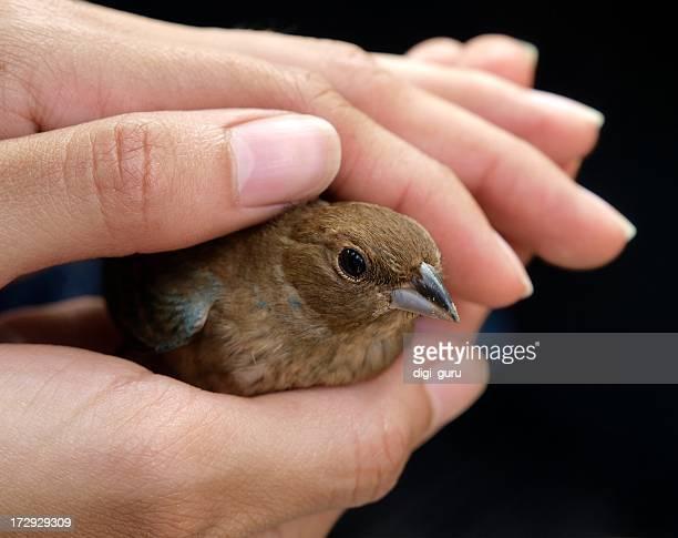 Human hands holding a brown bird