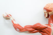 Human hands muscle for the education.