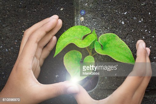 Human hands protect the green leaf : Stock Photo