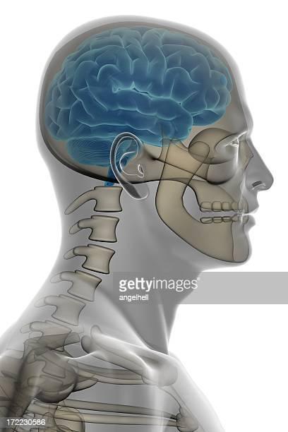 Cabeça humana com cérebro e ossos