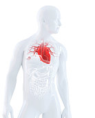 Human heart anatomy. Isolated. Contains clipping path