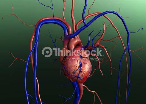 Menschliches Herz Anatomie Stock-Foto | Thinkstock