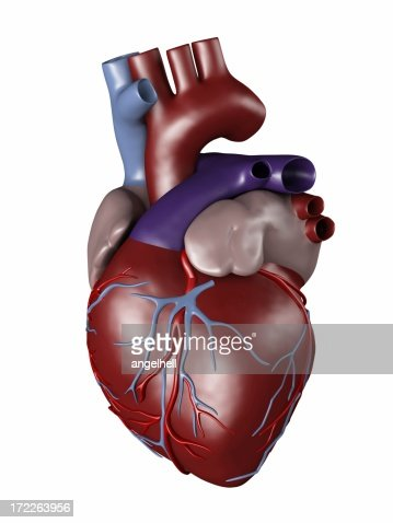Human heart for medical study