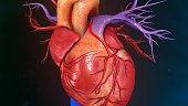 The human heart is a vital organ that functions as a pump, providing a continuous circulation of blood through the body, by way of the cardiac cycles.