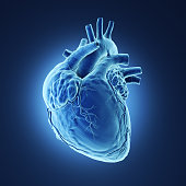 3d rendered illustration of a human heart Xray.