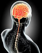 Human Internal Organic - Human Brain, medical concept.