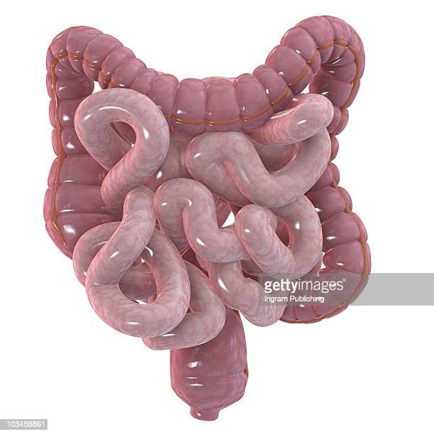 Human intestines and colon