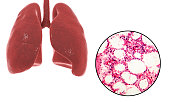 Human lungs anatomy and histology, 3D illustration and light microscope, photo under microscope