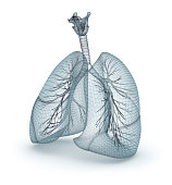 Human lungs and trachea. Wire model, 3D illustration