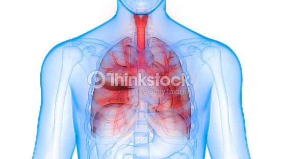 Human Lungs Inside Anatomy Stock Photo | Thinkstock